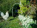 Chickens with snowdrops